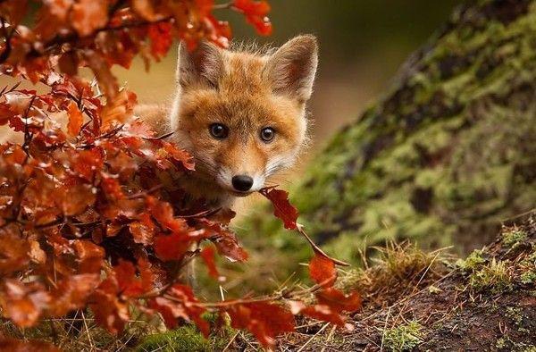 Petit renard dans les feuilles d'automne