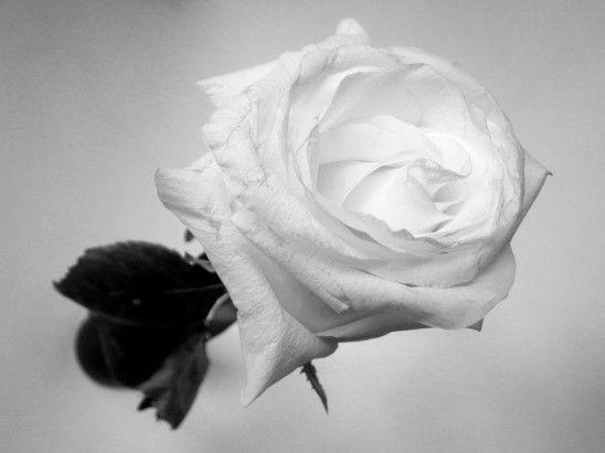 Rose noir et blanc