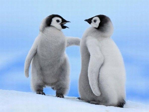 Pingouins discutant entre eux !!!
