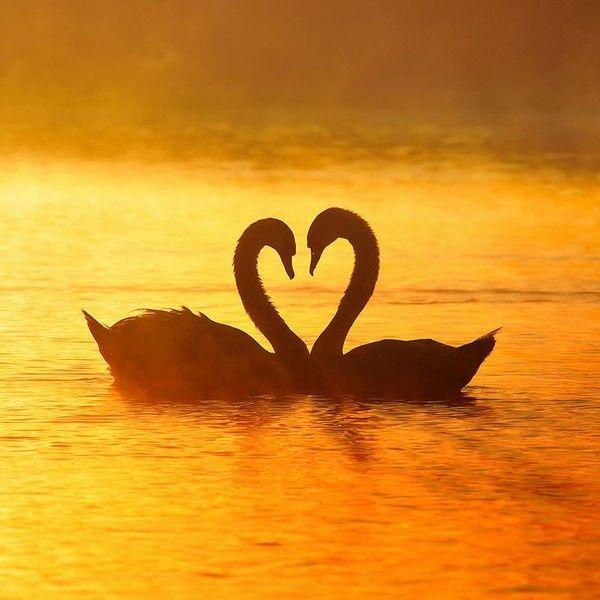 Cygnes coucher de soleil