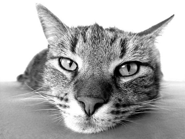 Chat photo noir et blanc