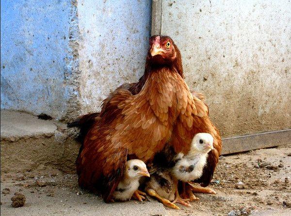 Poule et ses poussins