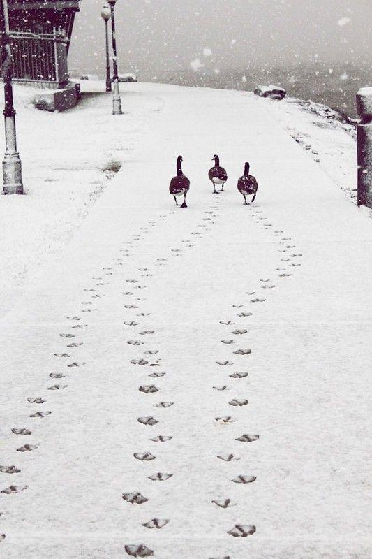 Il fait froid canards dans la neige ...