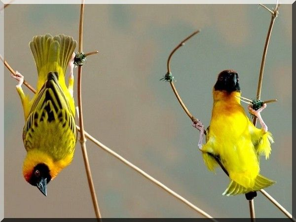 Oiseaux jaunes et noirs