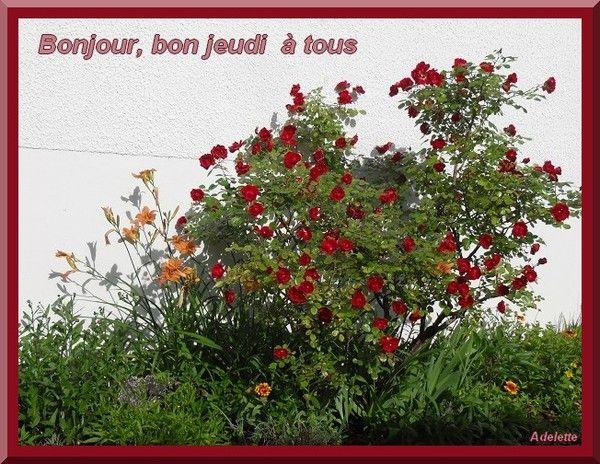 Bon jeudi rosier jardin