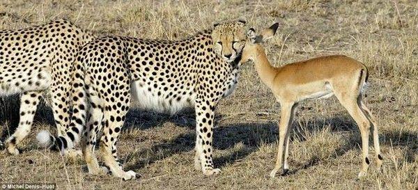 Biche et lion