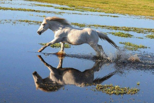 Cheval blanc dans la mer