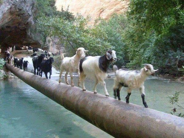 Chèvres à la queue leu leu